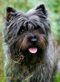 Cairn Terrier Zalazar Secret Mission