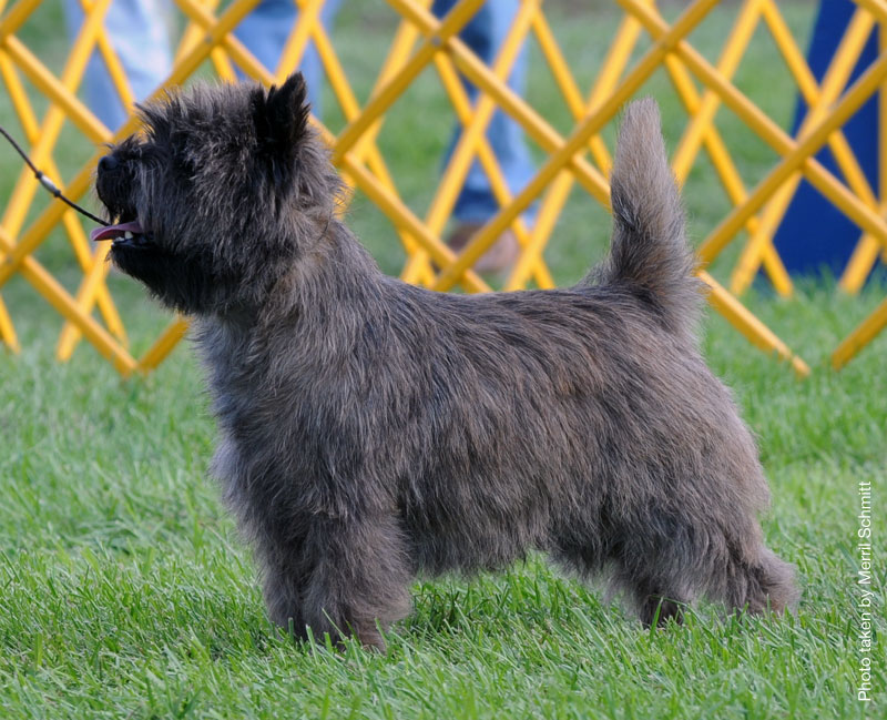 Cairn Terrier Zalazar Walk The Line