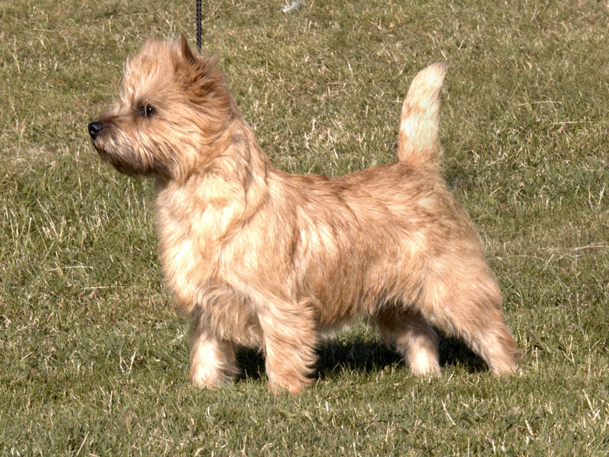 Cairn Terrier Zalazar On Stage