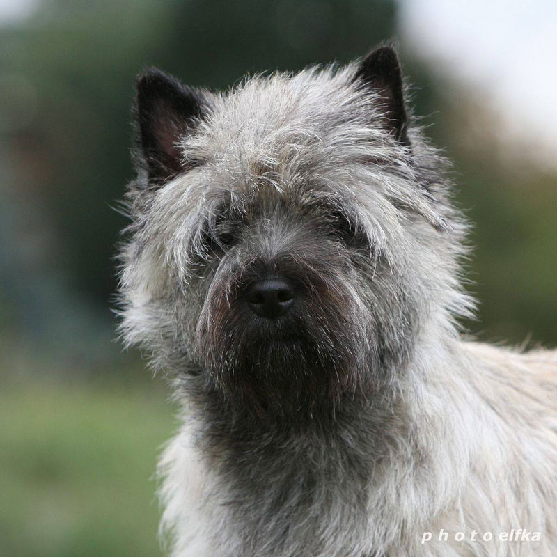 Cairn Terrier Zalazar Love Is In The Air