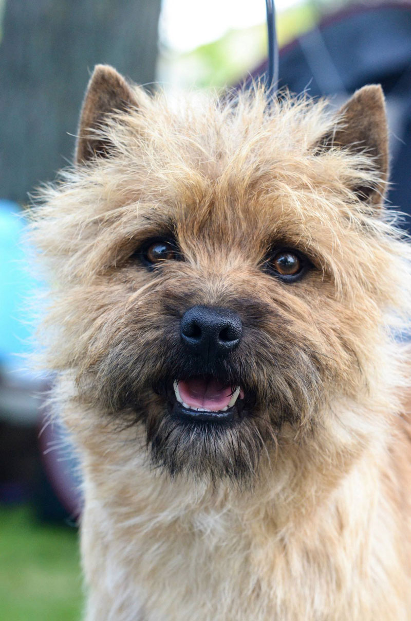 Cairn Terrier Zalazar In Heaven
