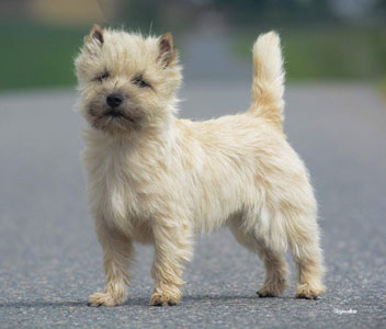 Cairn Terrier Quite A Surprice Hoity Toity Gang