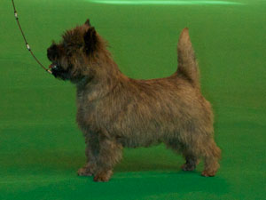 Crufts 2009 Cairn Terrier Zalazar Walk The Line